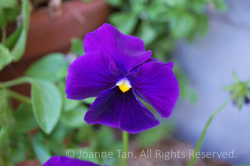 p - flowers - A Purple Pansy