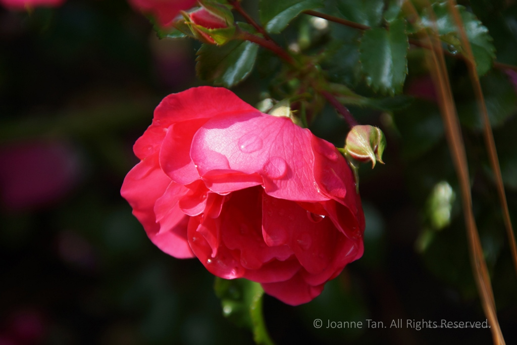 p - flowers - A Red Rose Dripping Dews Bowing Head