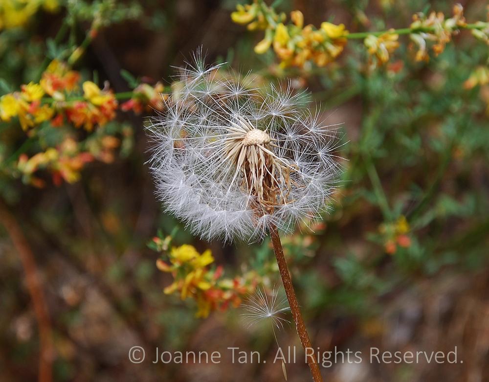 p - flowers - plants - A  Dandelion Half Blown Away