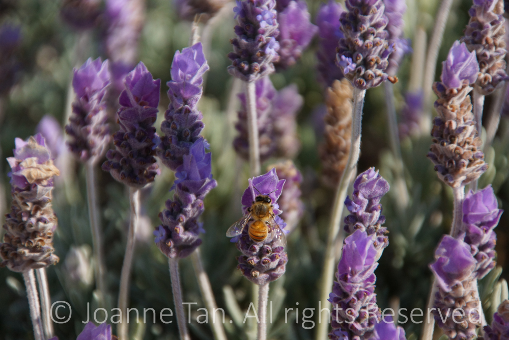 p-flowers-plants-animals-A Bee Among Lavenders