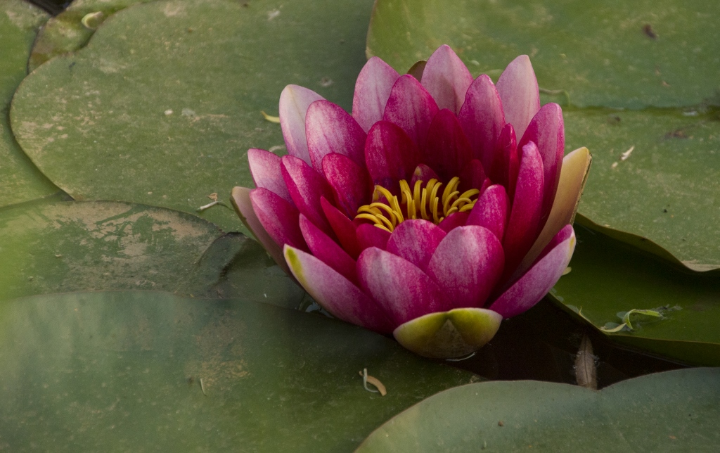 Water Lily in the Wild